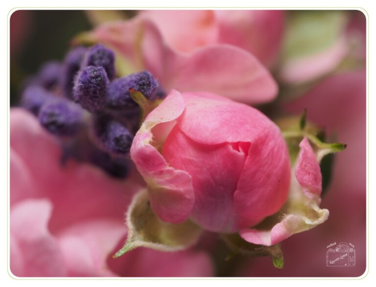 Read more about the article Rose und Lavendel